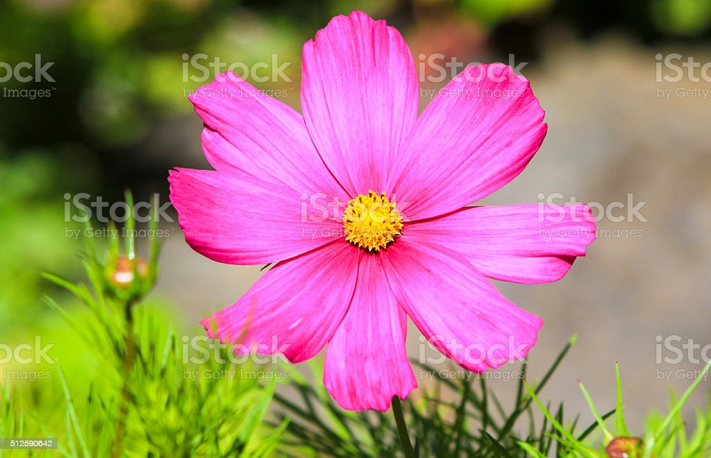 Cosmos in Carmarthenshire, Wales stock photo