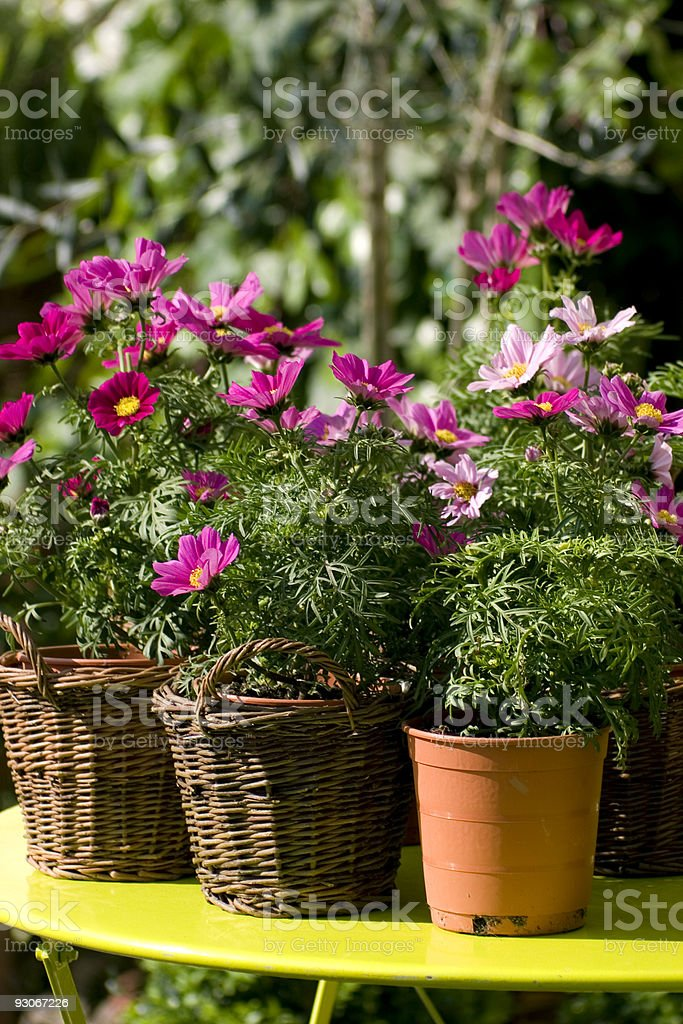 Cosmos in pots royalty-free stock photo