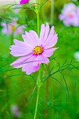 Cosmos leaves purple on green meadow