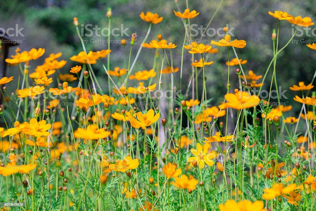 Cosmos mexican aster flower orange yellow rows in garden stock photo