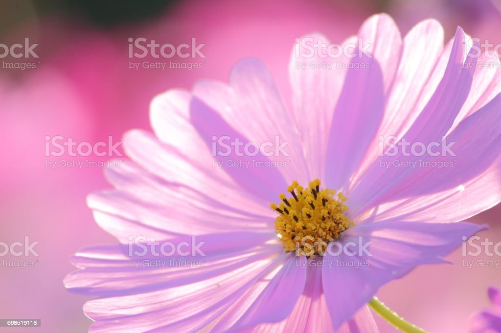 Cosmos (Kind:Sensation) Part 81 stock photo