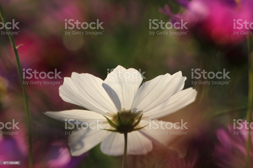 Cosmos (Kind:Sensation) Part 87 stock photo