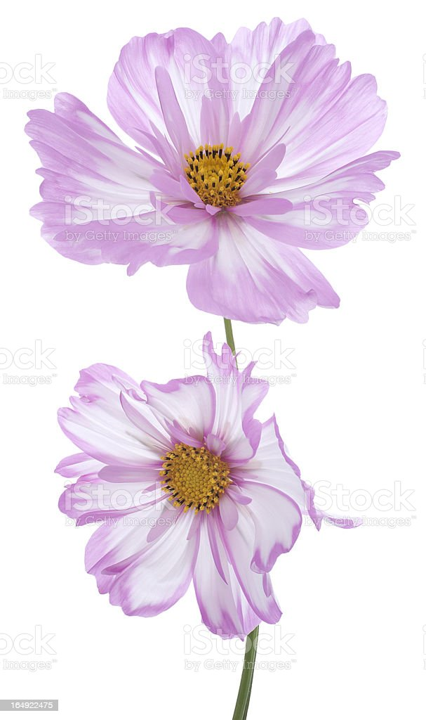 cosmos royalty-free stock photo