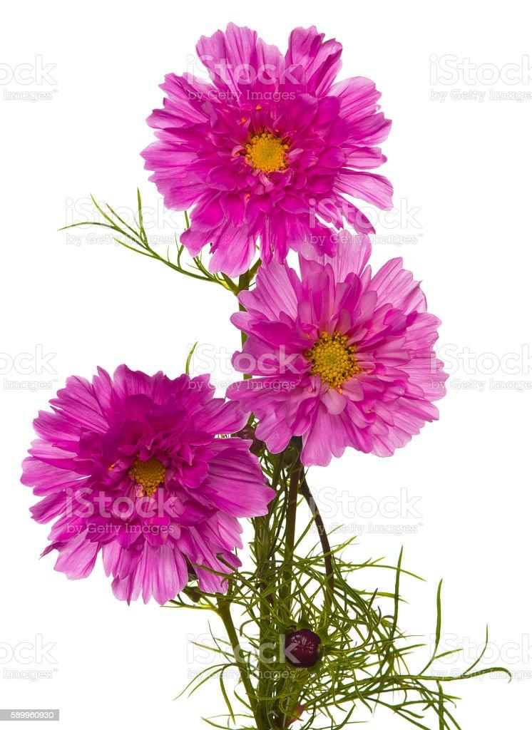 Cosmos (plant) stock photo