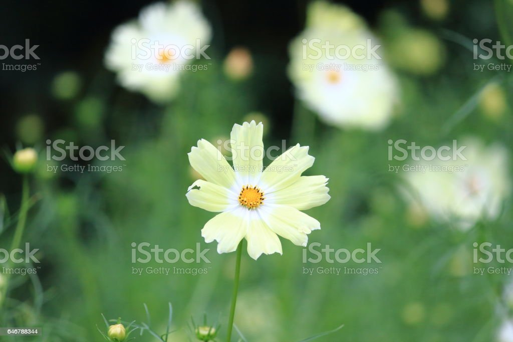 Cosmos (Kind:Yellow Cumpus) stock photo