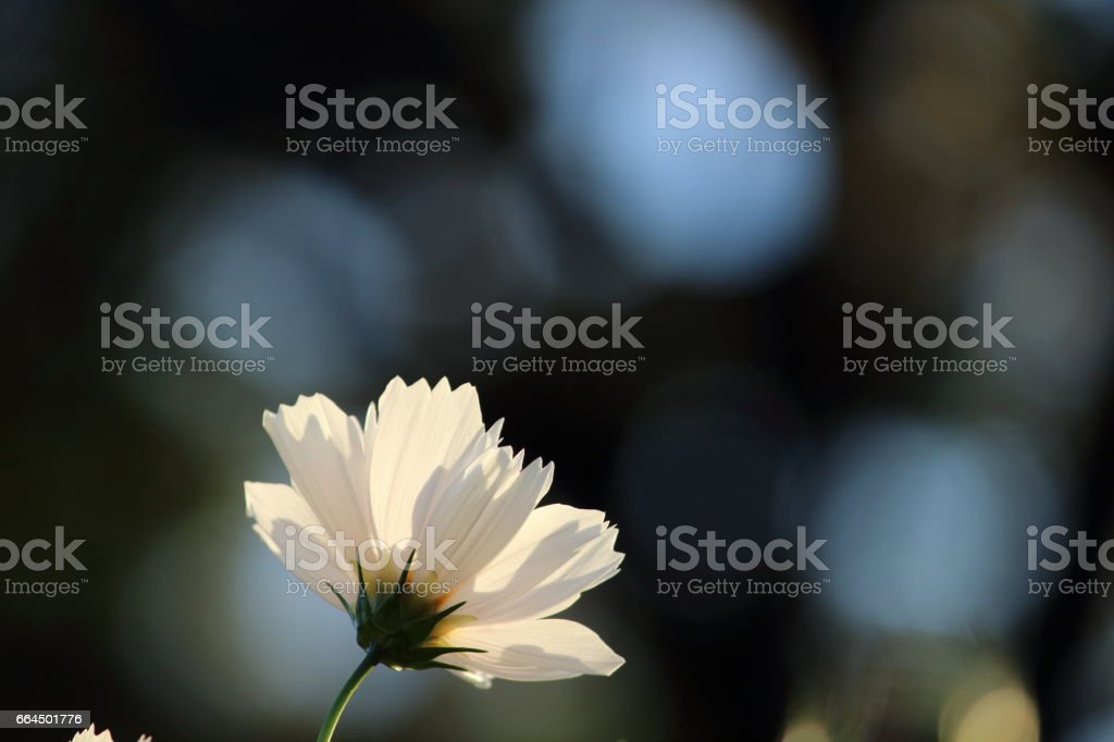 Cosmos (Kind:Sensation) stock photo
