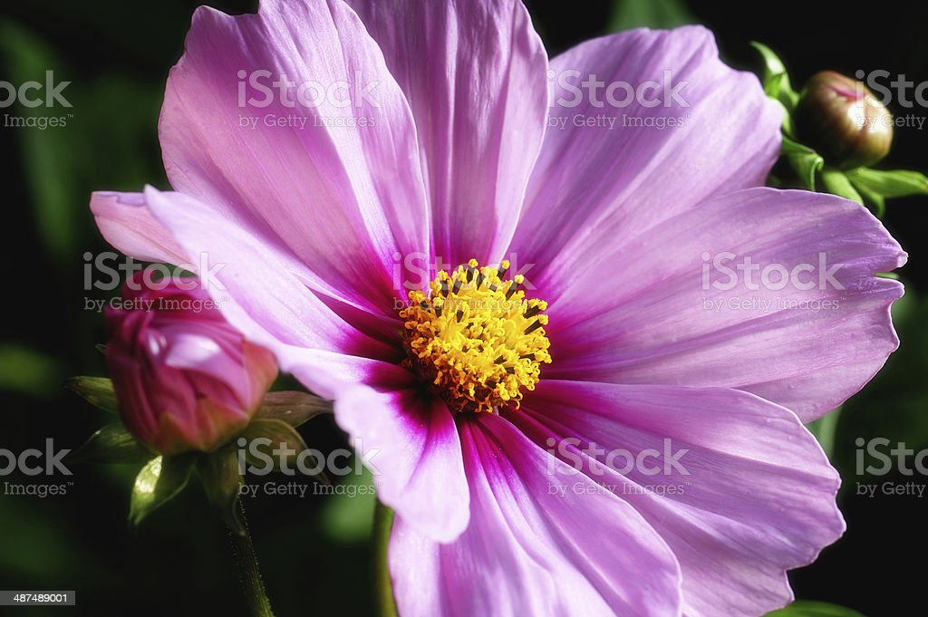 Cosmos pink flower stock photo