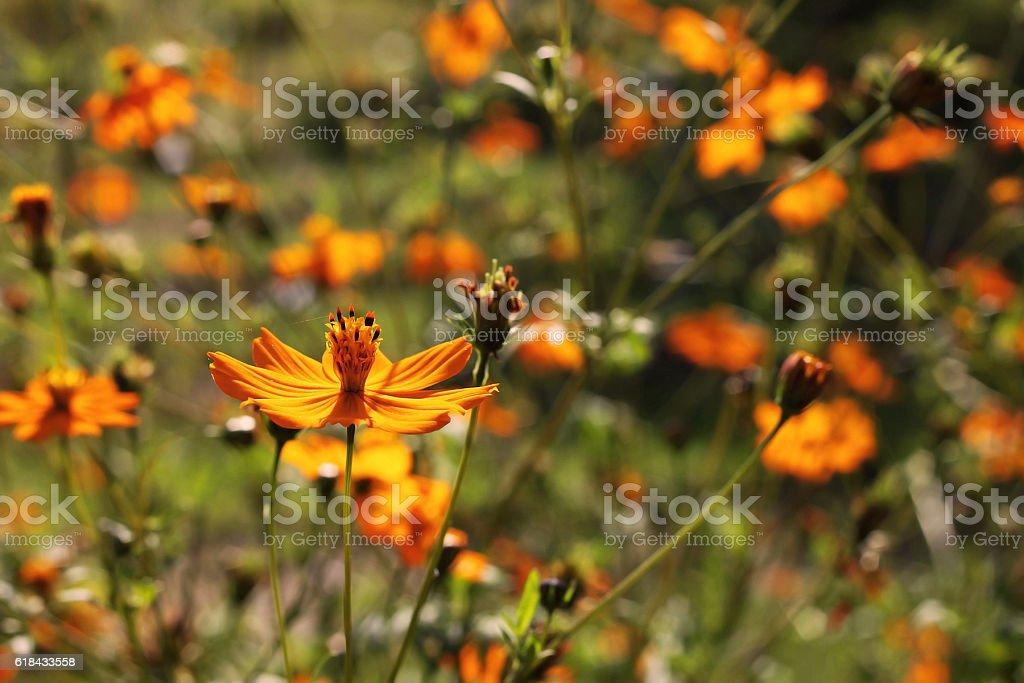 Cosmos sulphureus flower against the sun stock photo