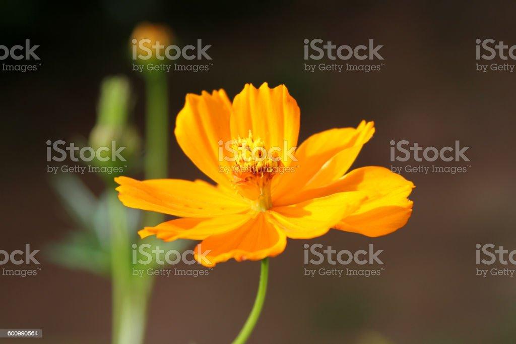 Cosmos sulphureus flower stock photo