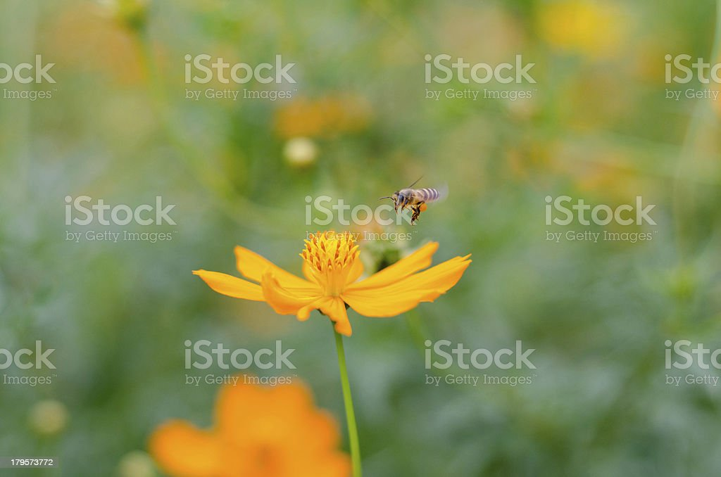 Cosmos with bee royalty-free stock photo