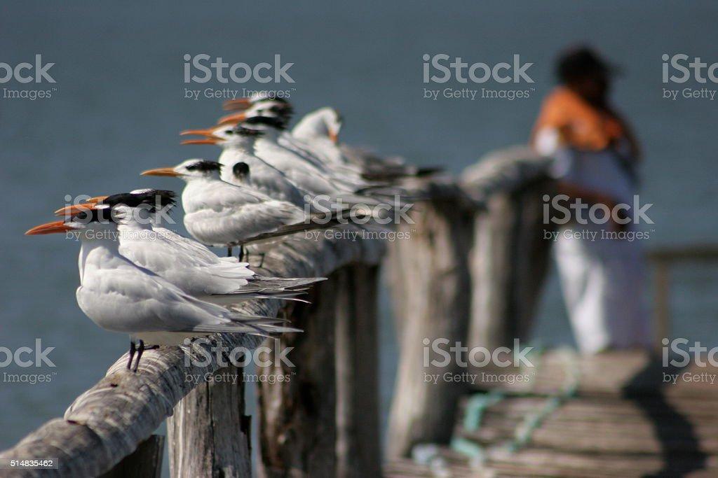 Costa Rica Birds (terns) stock photo