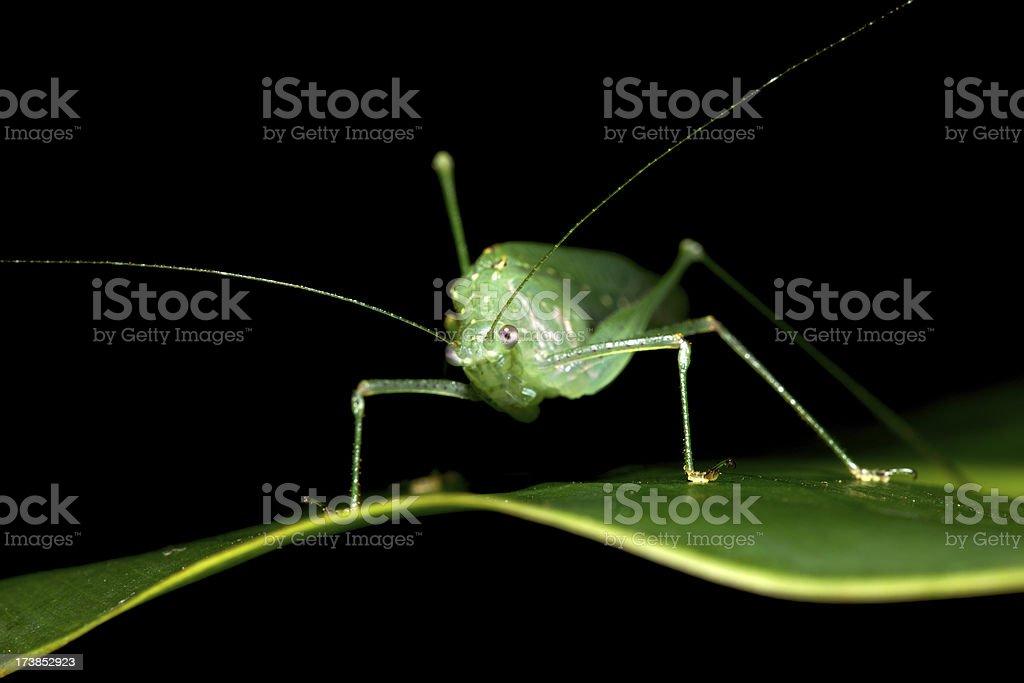 Costa Rica Grasshopper royalty-free stock photo