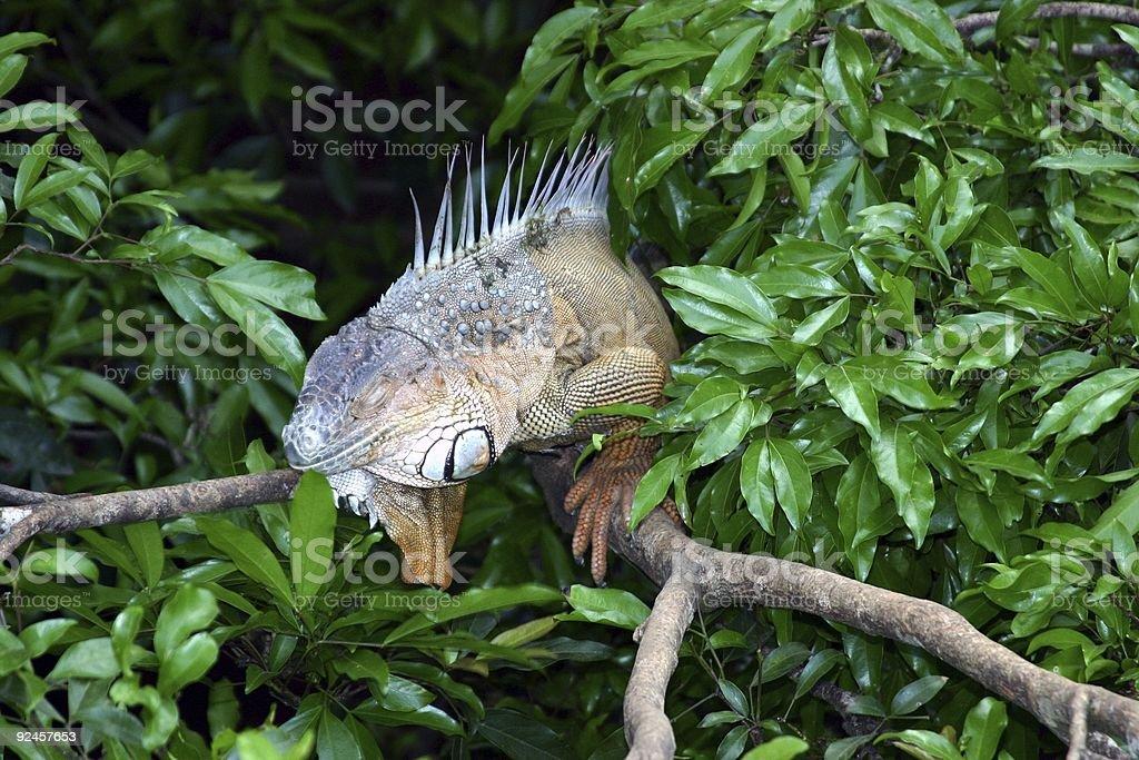 Costa Rica : Iguana royalty-free stock photo