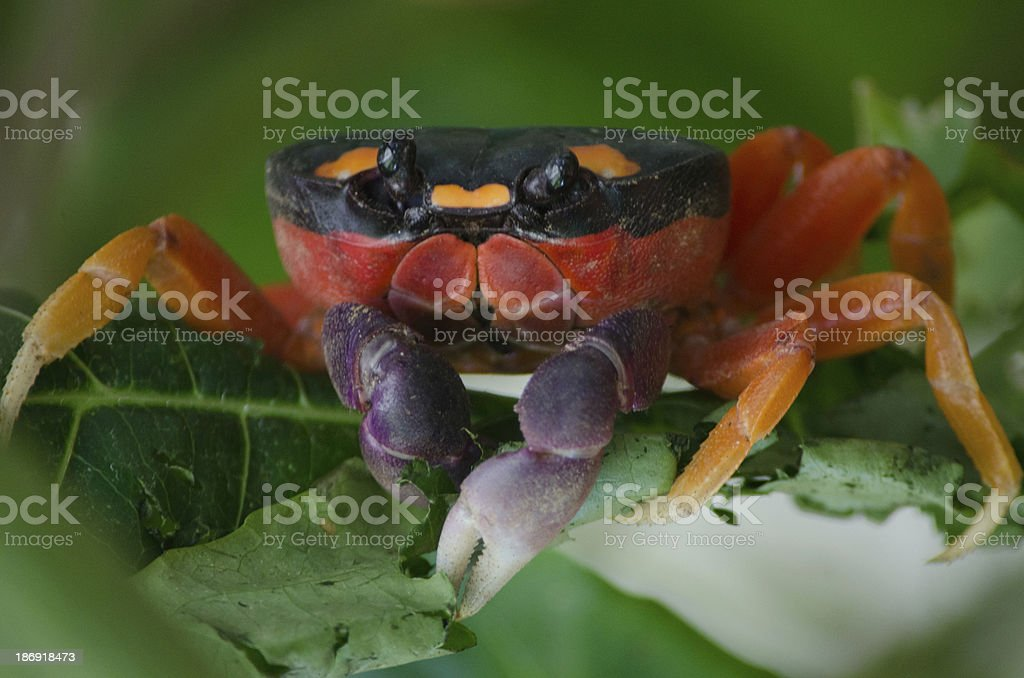 Costa Rica Jungle Halloween Crab stock photo