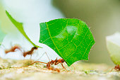 Costa Rica Leaf Cutter Ants Working Together Cahuita National Park