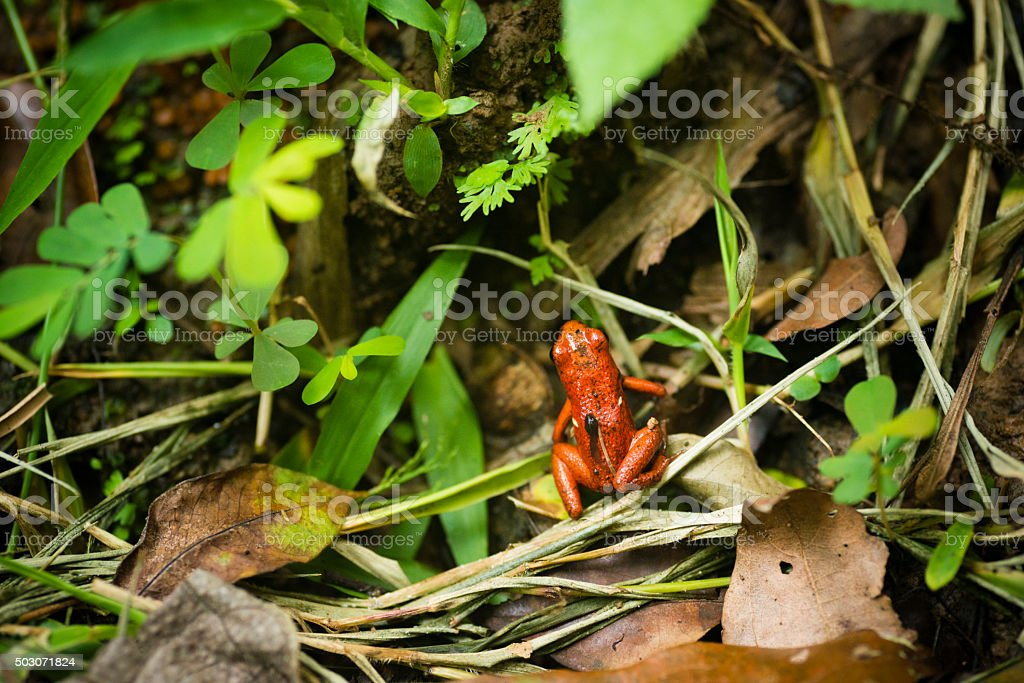 Costa Rica Red Strawberry Poison Dart Frog on Leaves stock photo