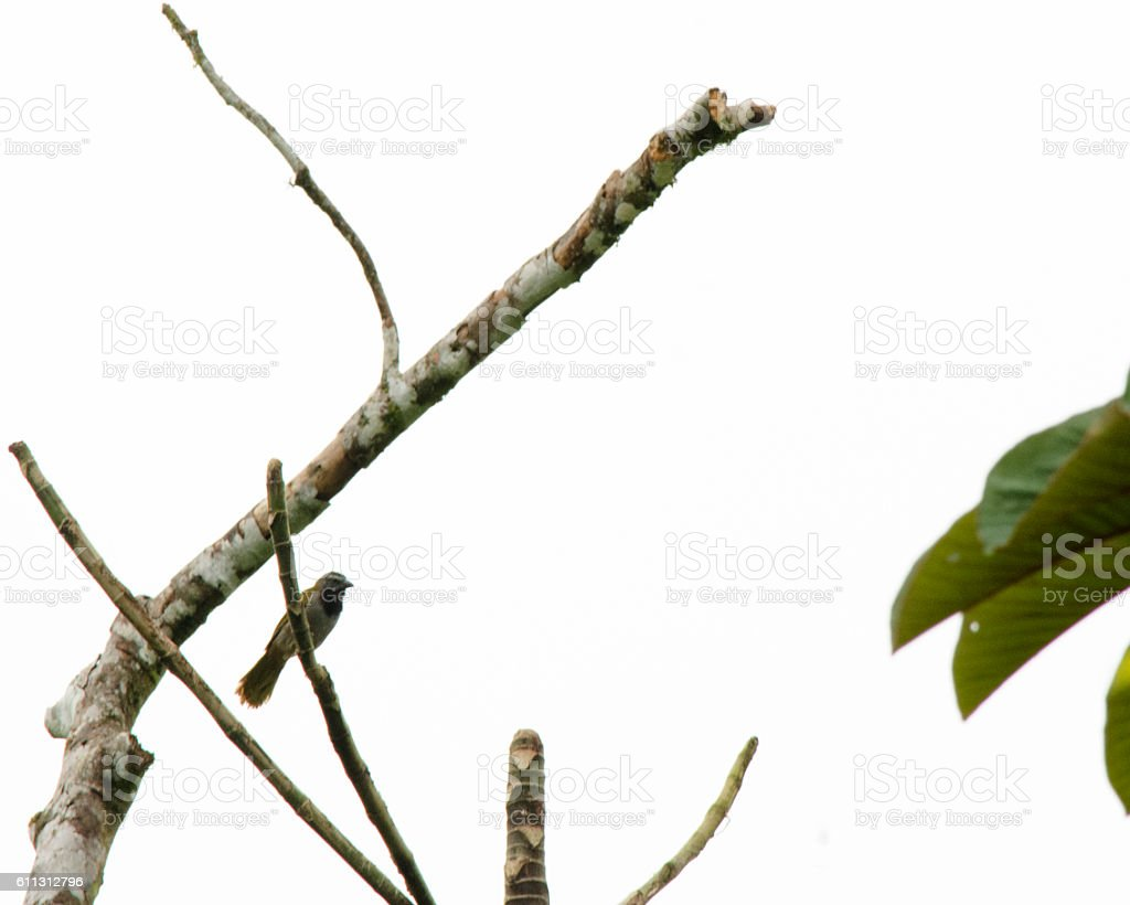 Costa Rican Bird stock photo