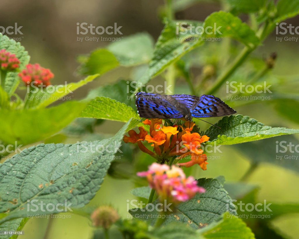 Costa Rican Butterfly stock photo
