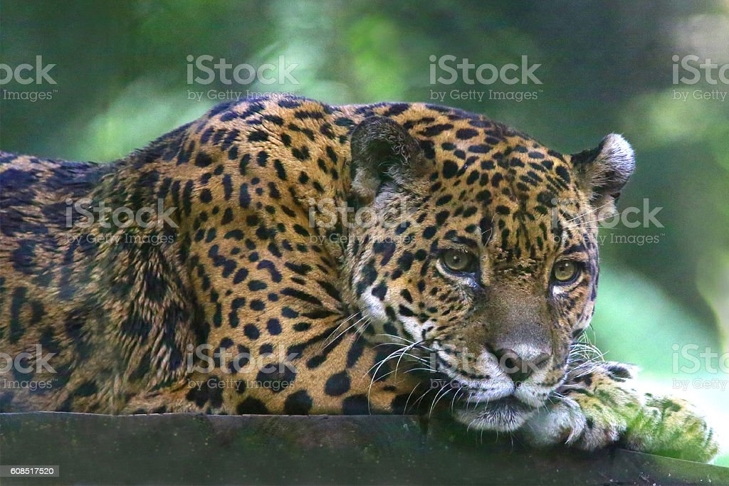 Costa Rican Jaguar stock photo