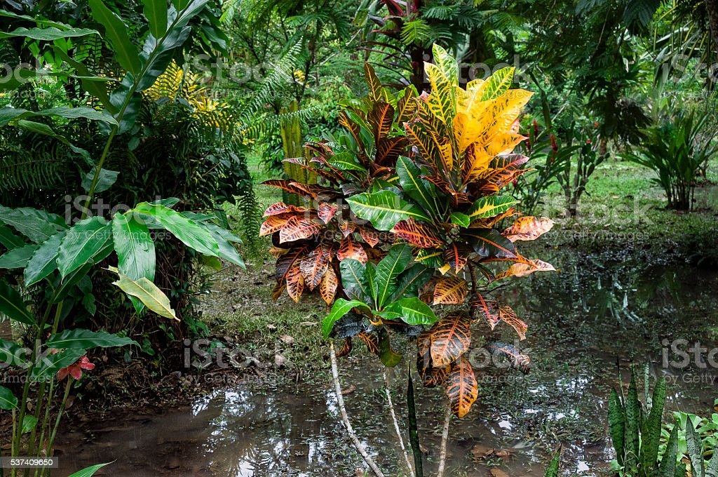 Costa Rican rain forest with Petra Croton plant stock photo