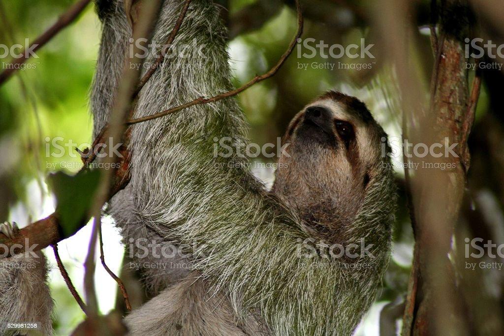 Costa Rican Tree Sloth stock photo
