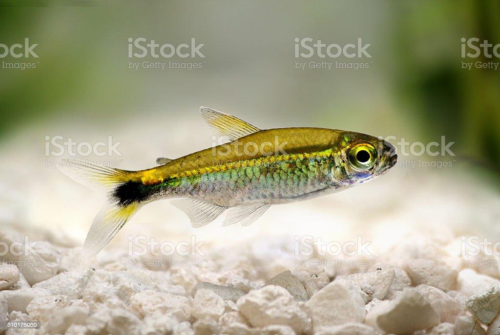 Costello tetra Hemigrammus hyanuary aquarium fish green neon stock photo
