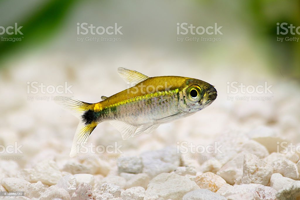 Costello tetra Hemigrammus hyanuary aquarium fish green neon stock photo