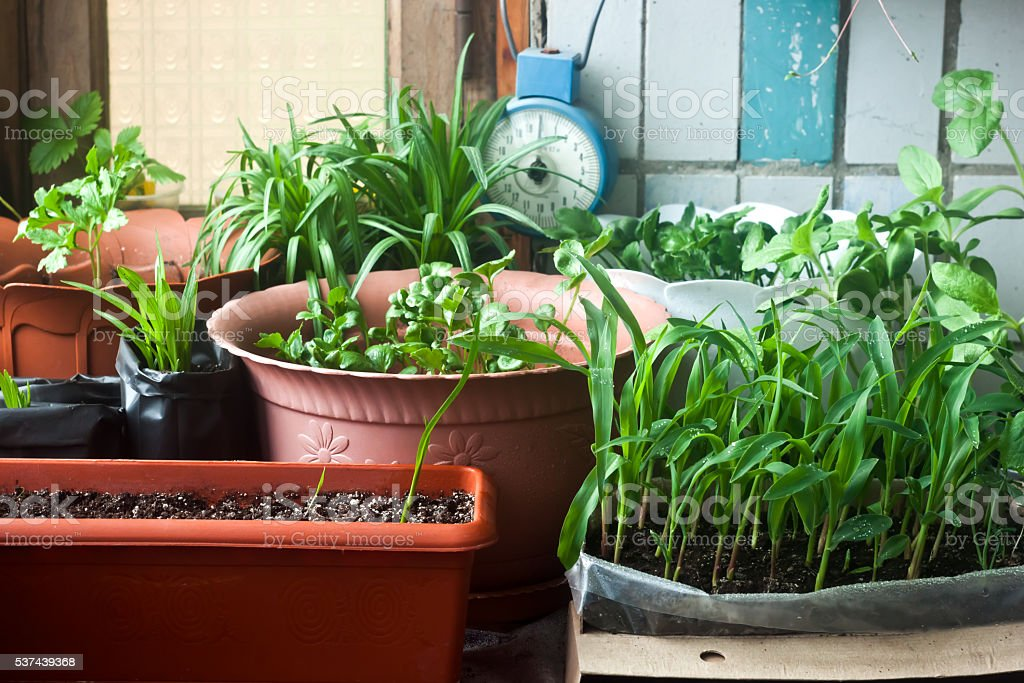 Cosy balcony garden - corn seedling and flowers stock photo