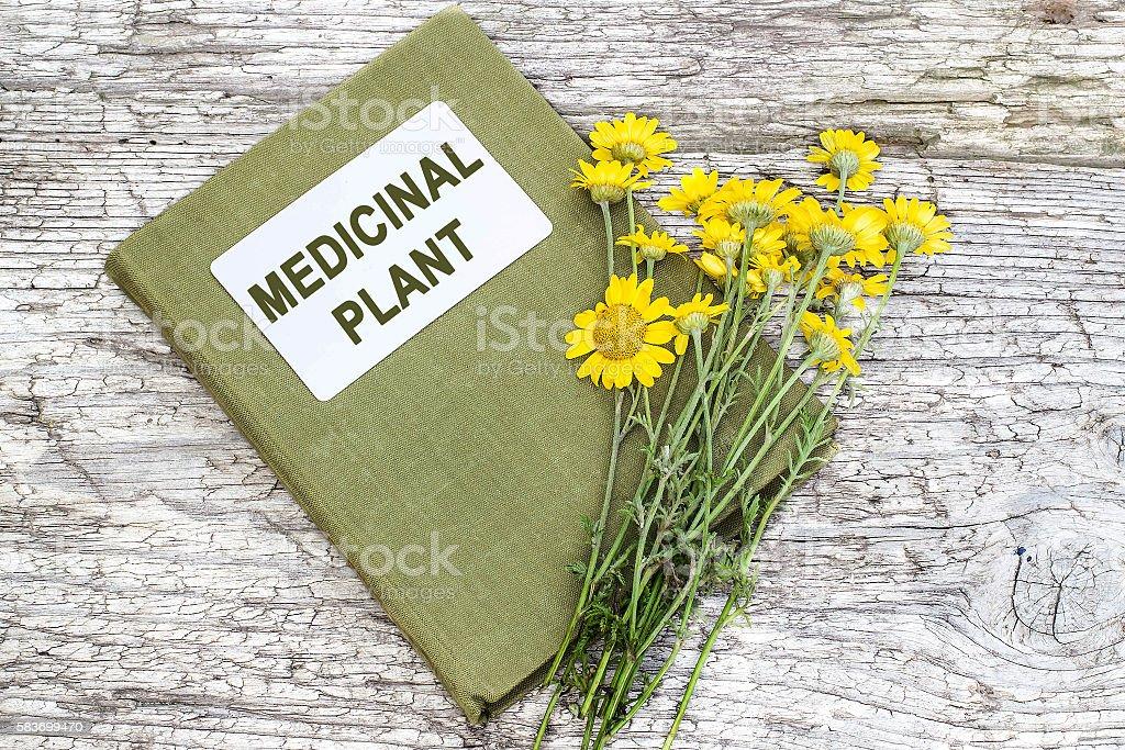 Cota tinctoria (Anthemis tinctoria) and directory medicinal plan stock photo