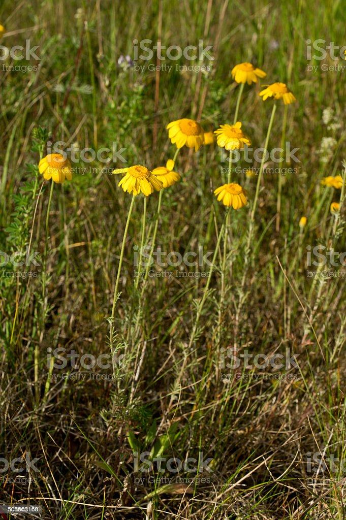 Cota tinctoria (golden marguerite, yellow chamomile, oxeye chamomile), golden flowers stock photo