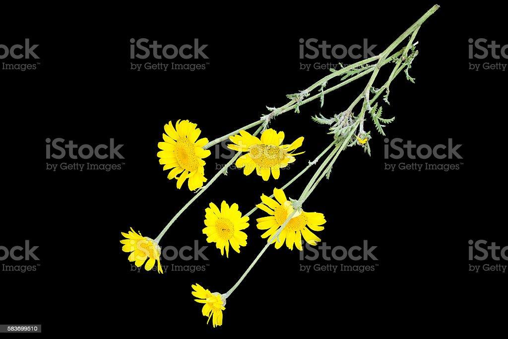 Cota tinctoria (Anthemis tinctoria) on a black background stock photo