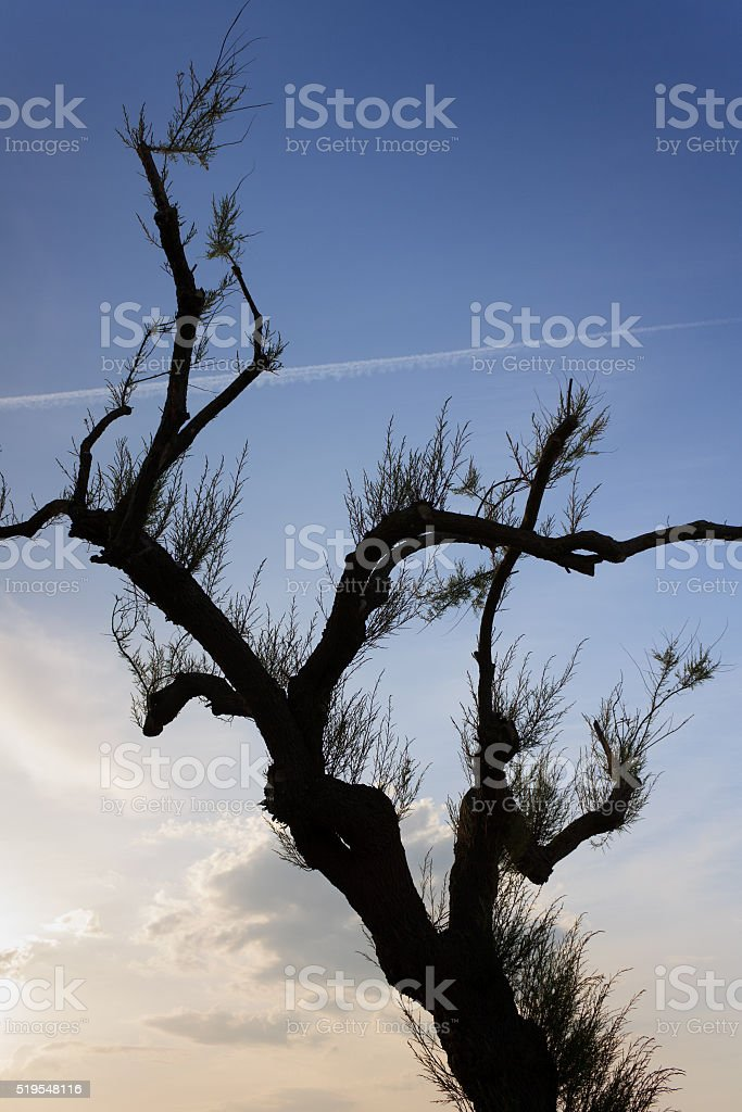 Cote Basque - Tamarix tree at the promenade of Biarritz stock photo