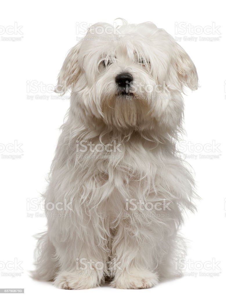 Coton de Tulear puppy, 5 months old, sitting stock photo