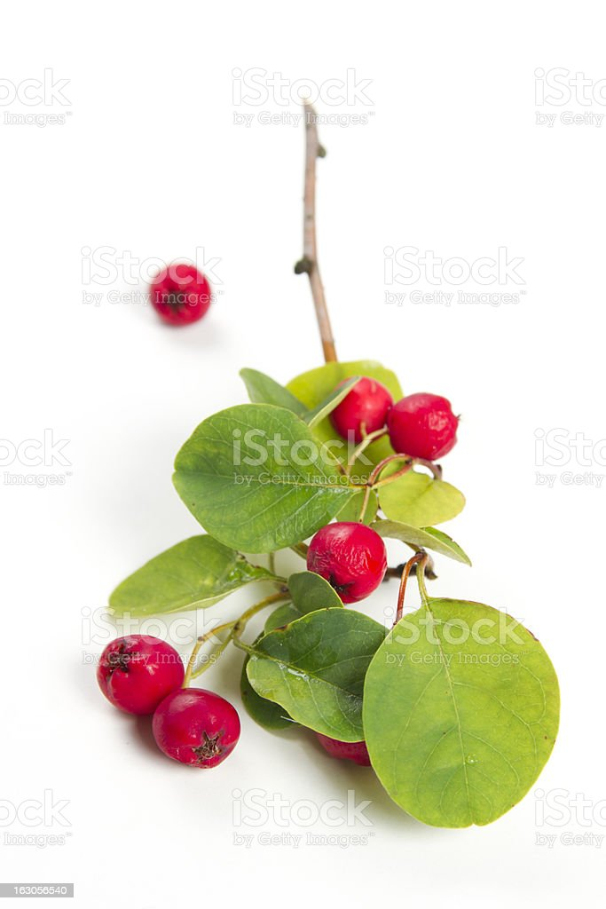 cotoneaster stock photo