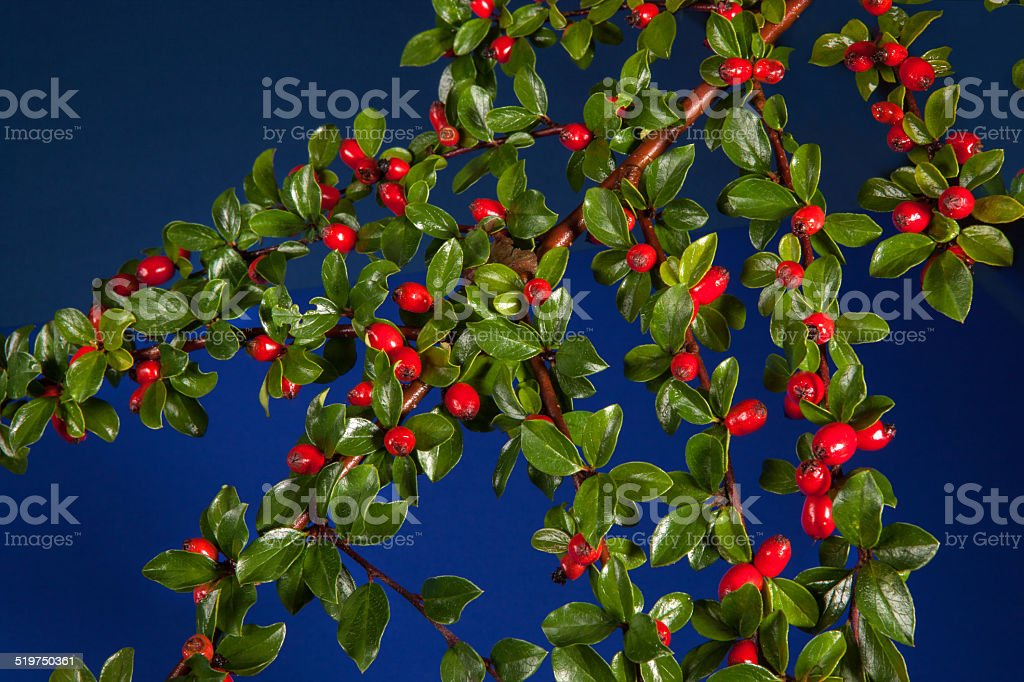 Cotoneaster with berries stock photo