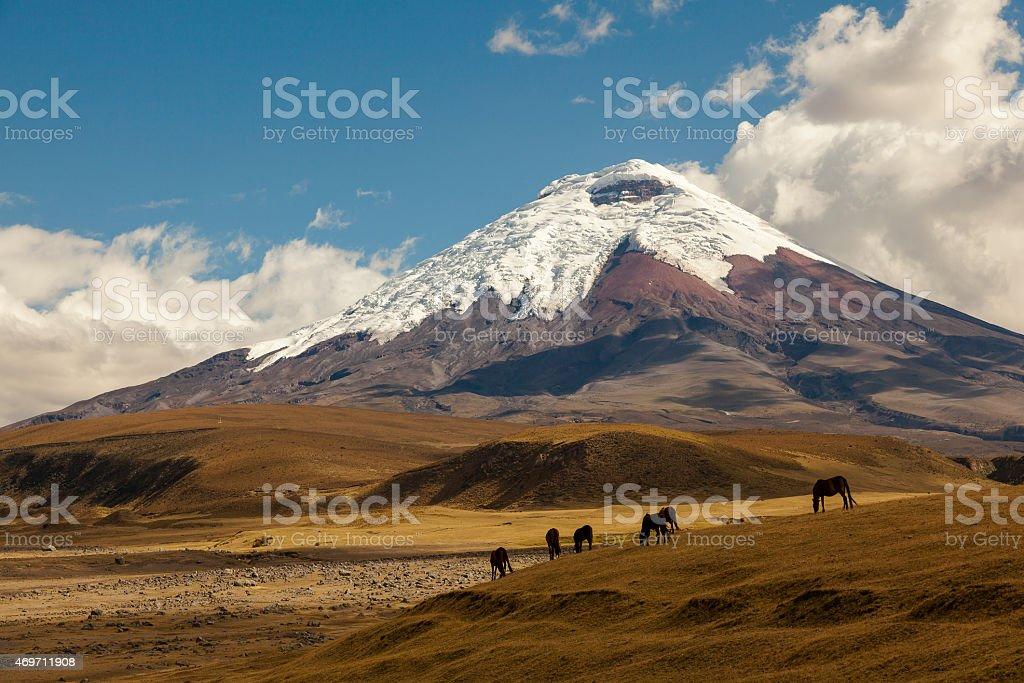 Cotopaxi volcano and wild horses stock photo
