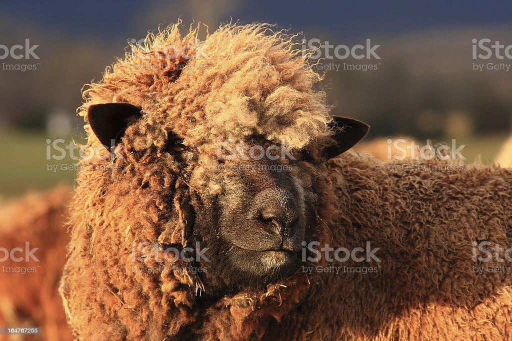 cotswald sheep stock photo