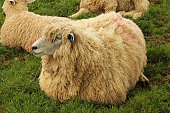 Cotswold sheep sitting on grass