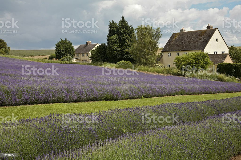 Cottage in a field of Lavender royalty-free stock photo