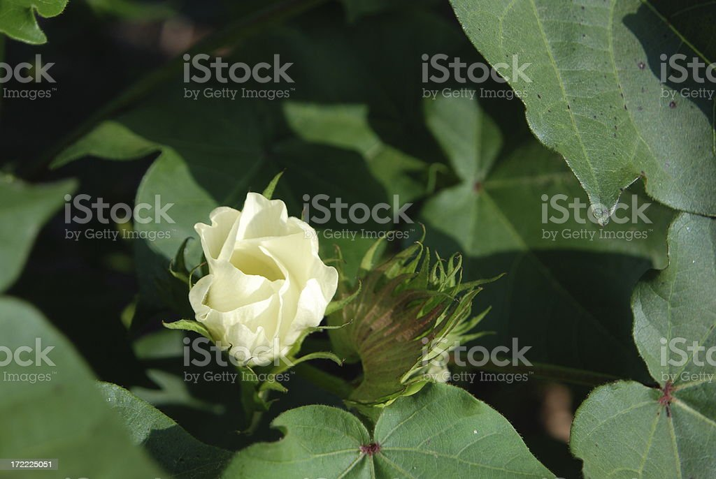 Cotton and Square royalty-free stock photo