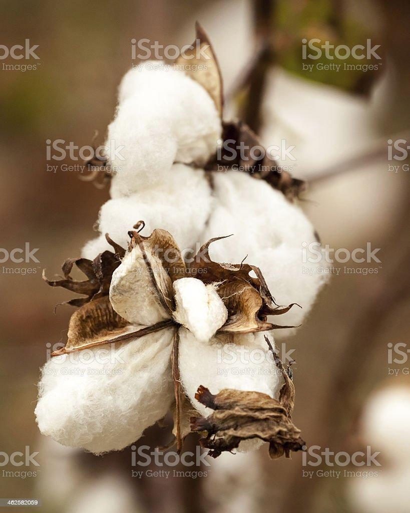 Cotton Boll Close-up I stock photo