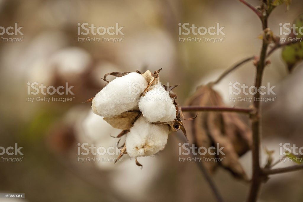 Cotton Boll Close-up II stock photo