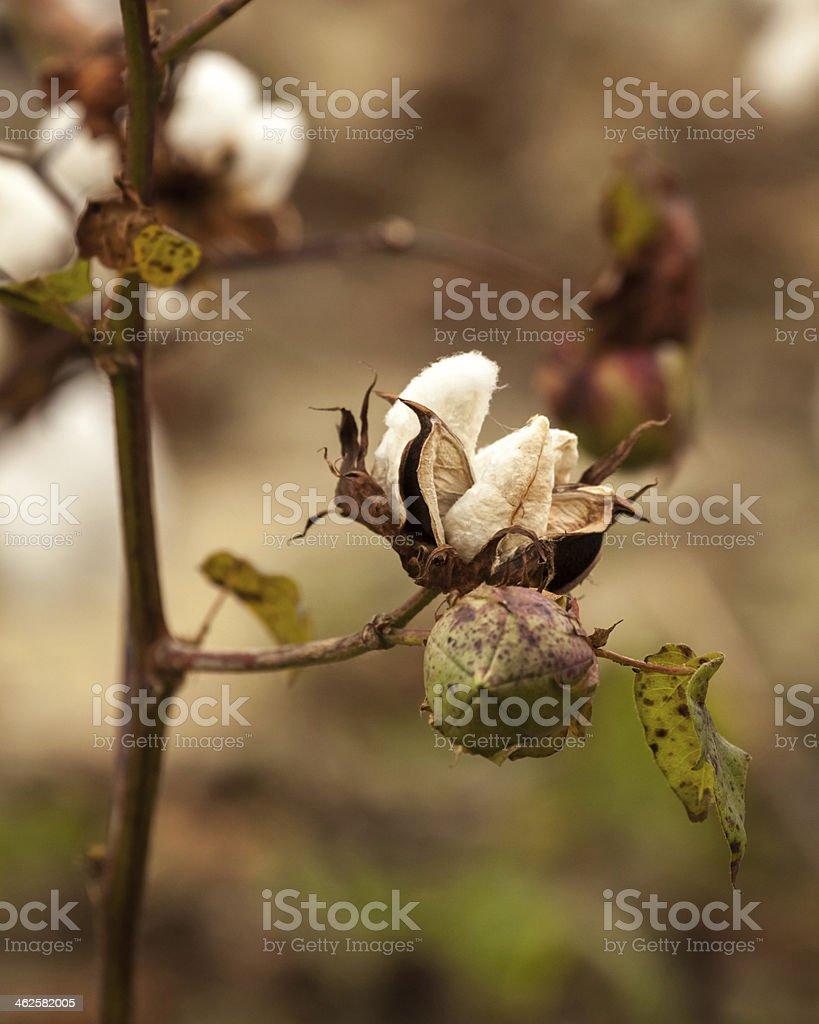 Cotton Boll Close-up III stock photo