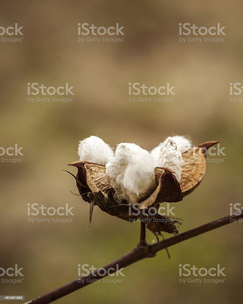 Cotton Boll Close-up IV stock photo
