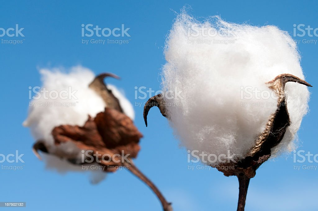 Cotton Boll Macro stock photo
