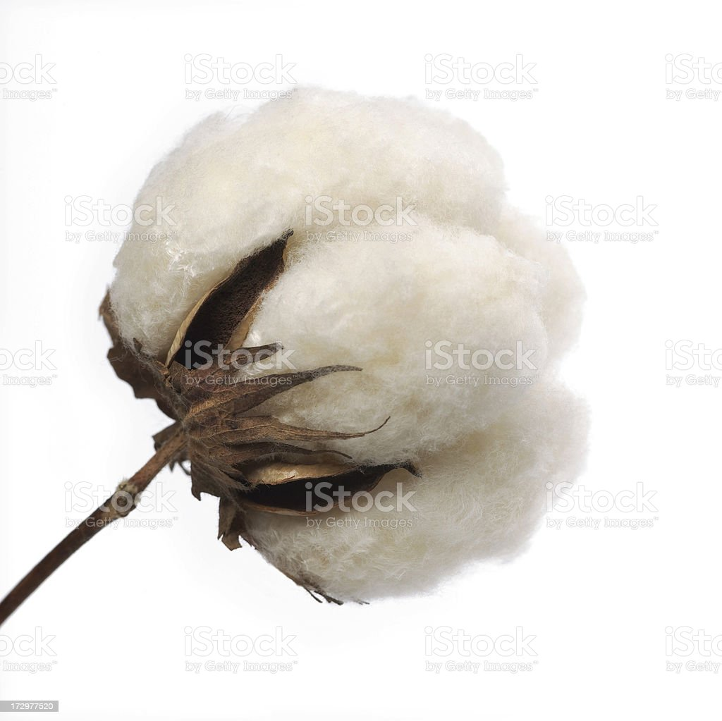 Cotton Boll royalty-free stock photo