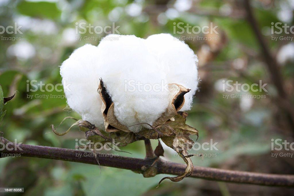 Cotton boll stock photo