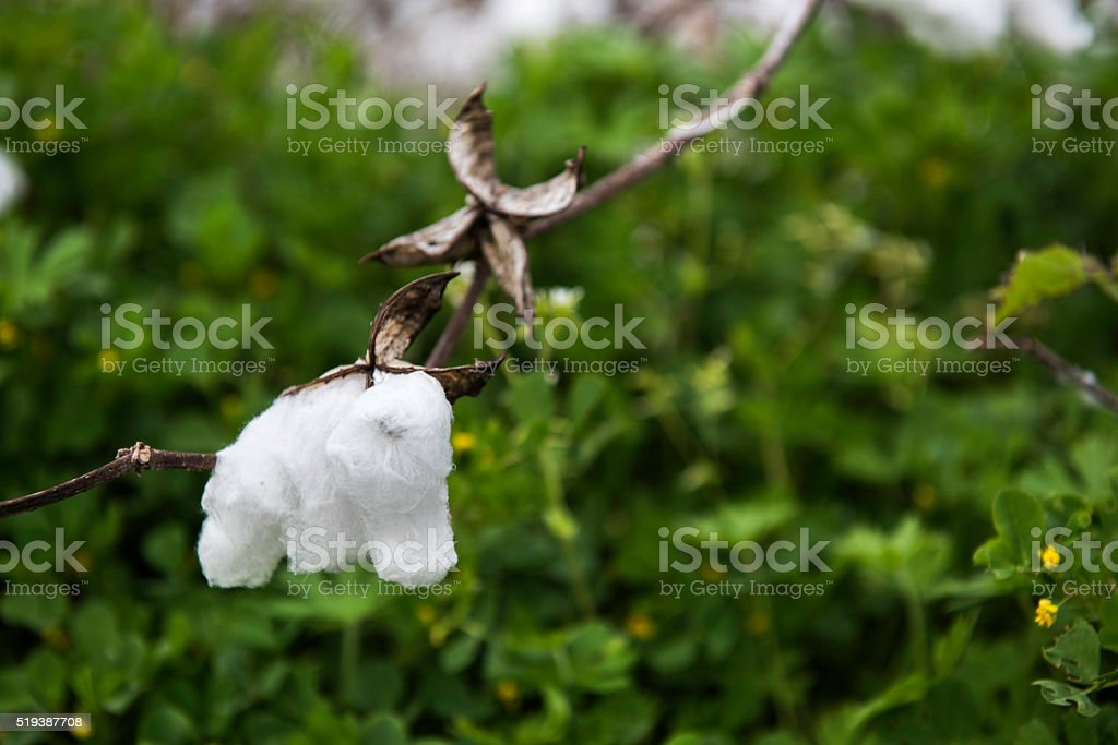 Cotton Boll stock photo