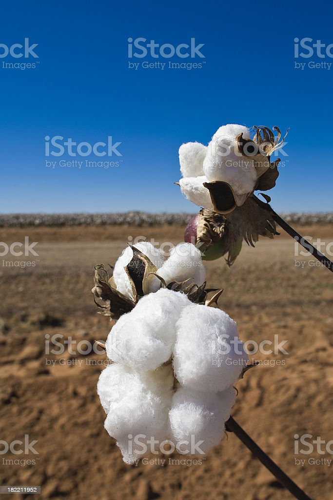cotton boll ripe and ready for harvest stock photo