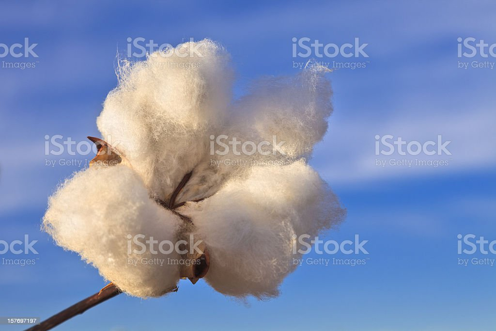 Cotton boll with sky in background stock photo